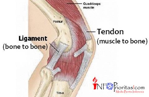 otot tendon quardiceps